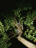 Juvenile Raccoons Perched in a Backyard Tree