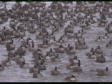 A Flock of Canada Geese Resting Together in Water
