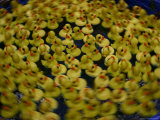 Swirling Activity of a Carnival Duckpond Quessing Game