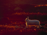 A Snowshoe Hare Outlined in Evening Sunlight