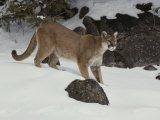 Mountain Lion in a Wintry Landscape