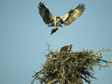 Osprey Carrying a Fish Back to its Nest
