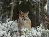Mountain Lion in a Snowy Landscape