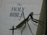 A Praying Mantis Prepares His Sermon