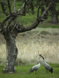 Pair of Common Cranes Standing in Grass under a Gnarled Tree