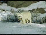 An Arctic Fox with a Fresh Kill in Its Mouth