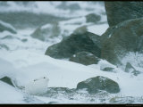 A Snowshoe Hare Amid Large Rocks in a Snowstorm