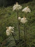Bear Grass Flowers  Mount Hood National Forest  Oregon