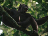 Male Chimpanzee Howls from a Tree Top