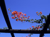 Red Flowers Grow on a Trellis in Somerset West  South Africa  Somerset West  Republic of S Africa