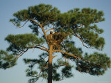 Pair of Bald Eagles Perch in Their Treetop Nest
