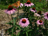 A Butterfly Flashes Wings in Flight Over Purple Coneflowers