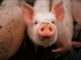 A Cute Pig Looks up His Snout at the Photographer