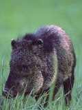 A Javelina  Also Known as a Collared Peccary  Stands in the Grass