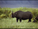 View of a Black Rhinoceros
