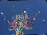 Phacelia Flowers at the Tip of a Foot-Long Stem