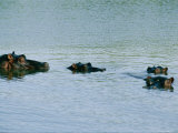 Four Hippopotamuses Poke Their Heads out of the Water