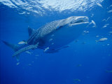 A Whale Shark Searches for its Next Meal