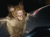 A Leaf-Nosed Bat