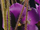 Close-up of the Reed-Like Stems and Flower of a Byblis Plant