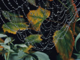Close-up of Portion of a Lacey Spiderweb Beaded with Dew