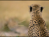 Close View of a Cheetah Seen from the Rear