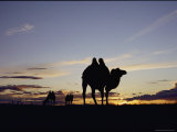 Three Bactrian Camels are Silhouetted at Dusk