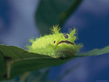 Close-up of a Caterpillar Eating a Leaf