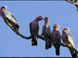 A Row of Galah Cockatoos Perched on a Small Tree Branch