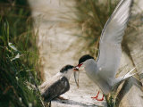 An Arctic Tern Brings its Offspring a Fish