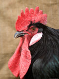 A Minorca Rooster is Pictured in Front of a Burlap Background