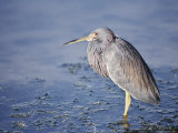 A Tri-Colored Heron Stands in Grassy  Shallow Water