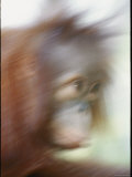 A Motion-Blurred Portrait of a Young Orangutan