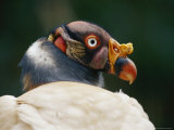 A King Vulture in Profile