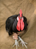 A Minorca Rooster is Held against a Burlap Background