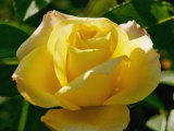 Close View of a Rose
