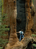 A Man Examines a Giant Fire Scar Left in a Sequoia Tree