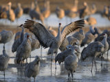 Sandhill Cranes Roost on the Platte River Near Kearney  Nebraska