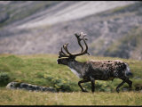 A Bull Caribou