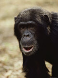 A Close-up of One of the Many Chimpanzees Studied by Jane Goodall at Gombe Stream National Park