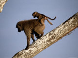 A Female Olive Baboon Carries Her Baby on Her Back