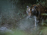 Tiger in the Bush