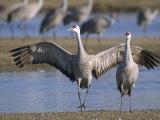 Sandhill Cranes Roost Along the Platte River Near Kearney  Nebraska