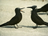 Black Noddy Terns
