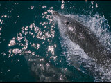 A Bottlenose Dolphin Swims Through the Sea off the Coast of Australia