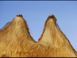 Close View of the Twin Humps of a Bactrian Camel