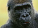 Close View of a Western Lowland Gorilla