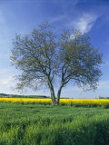 A Single Tree in a Yellow Rape Field