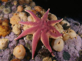 A Smooth Sun Star and Sea Anemones in the Gulf of Maine