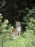 An Alert Siberian Tiger Sits on the Edge of a Dense Forest